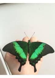"""живая бабочка """"Палинур"""""""